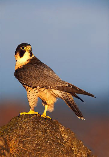 Male-peregrine-falcon-ssp-peregrinus-perched-on-a-rock.jpg