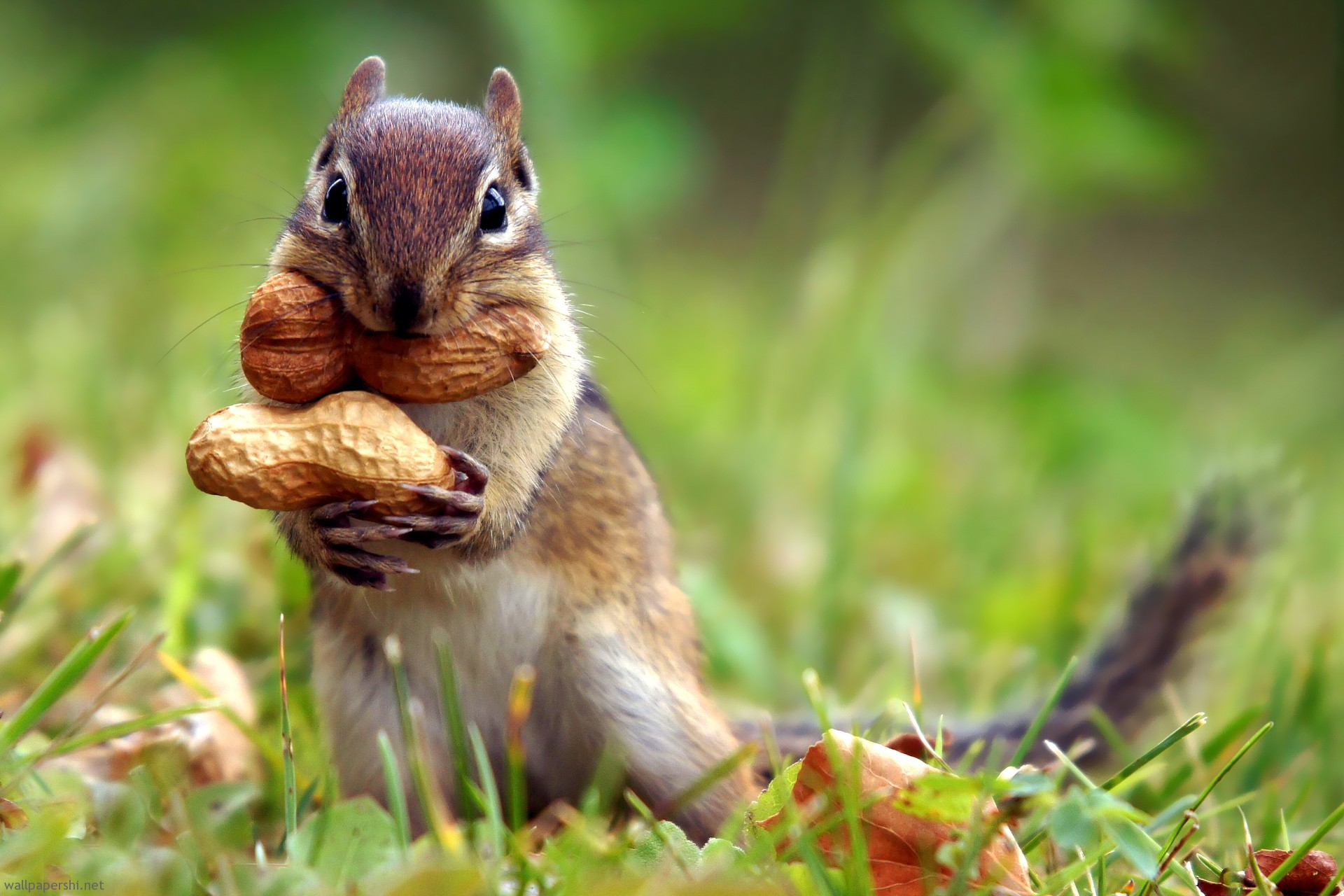 squirrel-nut.jpg