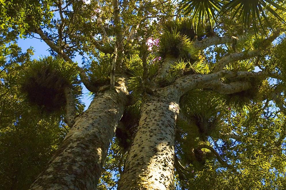 Kauri_Trees.jpg