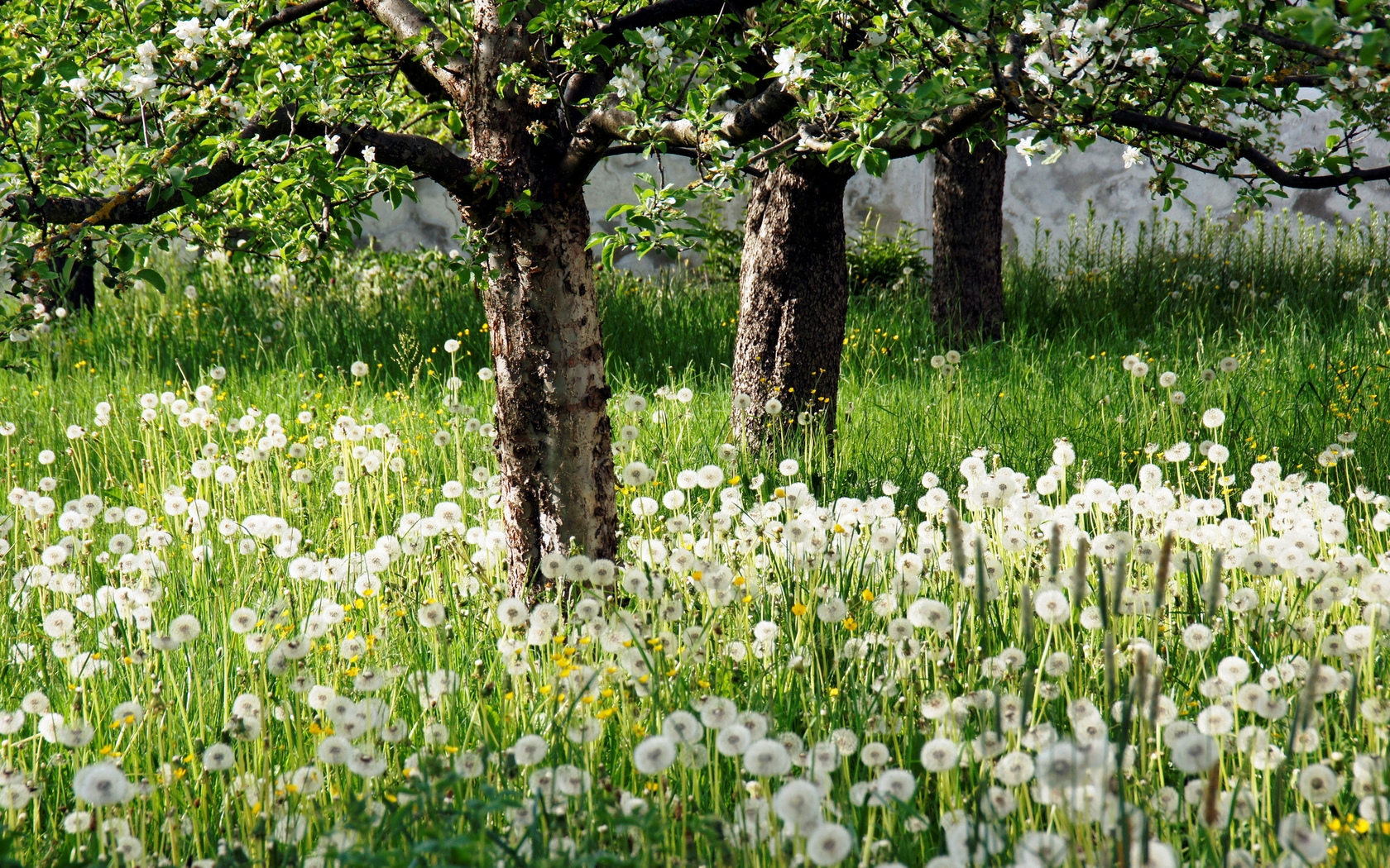 dandelions_spring_apple-trees_flowering_glade_hd-wallpaper-53844_1_.jpg