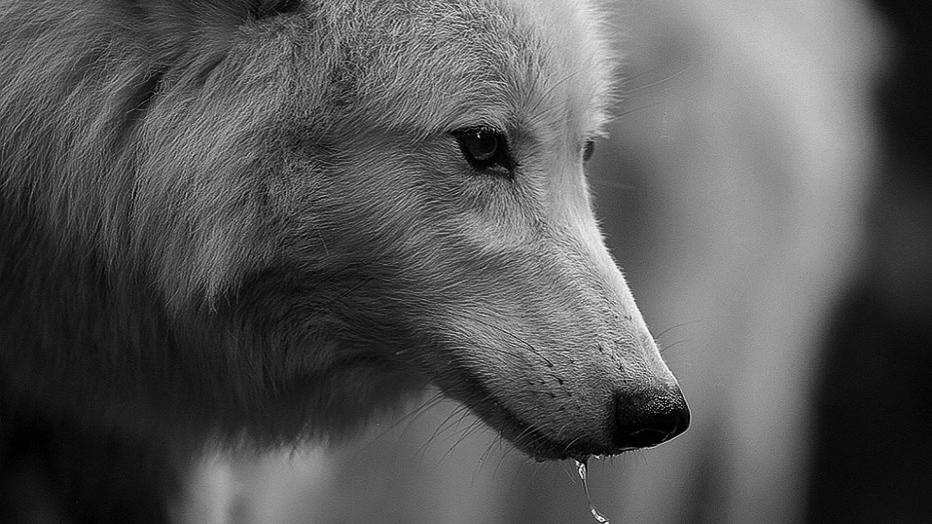 wallpaper-hd-dire-wolf-hd-cool-7-hd-wallpapers.jpeg