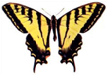 Swallowtail.png