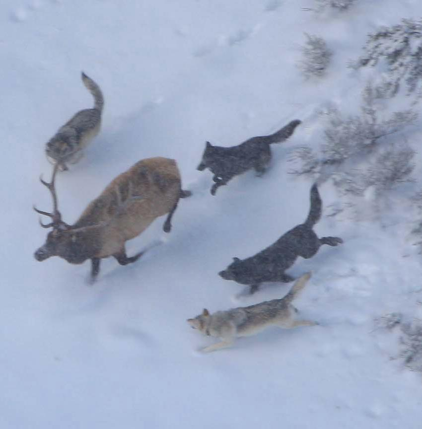 Wolf_Pack_Hunting1.png