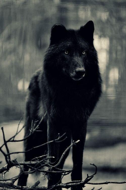 tetsuyablackwolf.jpg