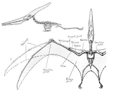 Pteronodon.jpg