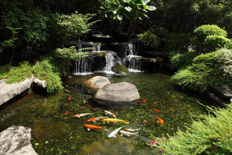 Japanese-variegated-carps-swimming-in-garden-pond-min-e1440360223224.jpg