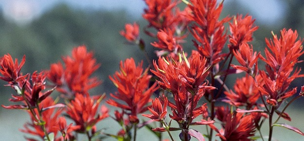 1280px-Indian_Paintbrush_in_Grand_Teton_NP-NPS.jpg
