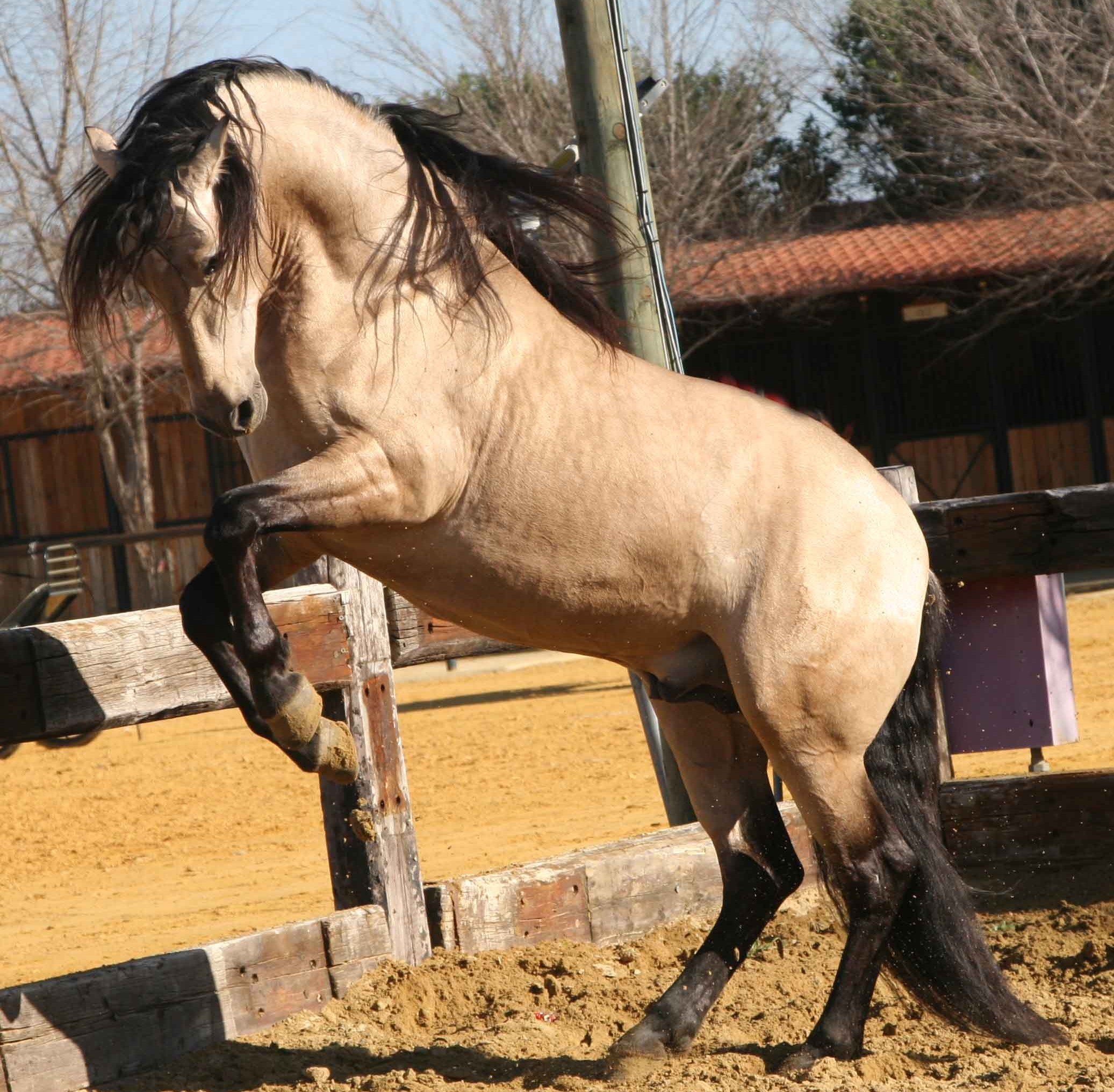 lusitanian_showing_off_iberian_horse_hd-wallpaper-251573.jpg