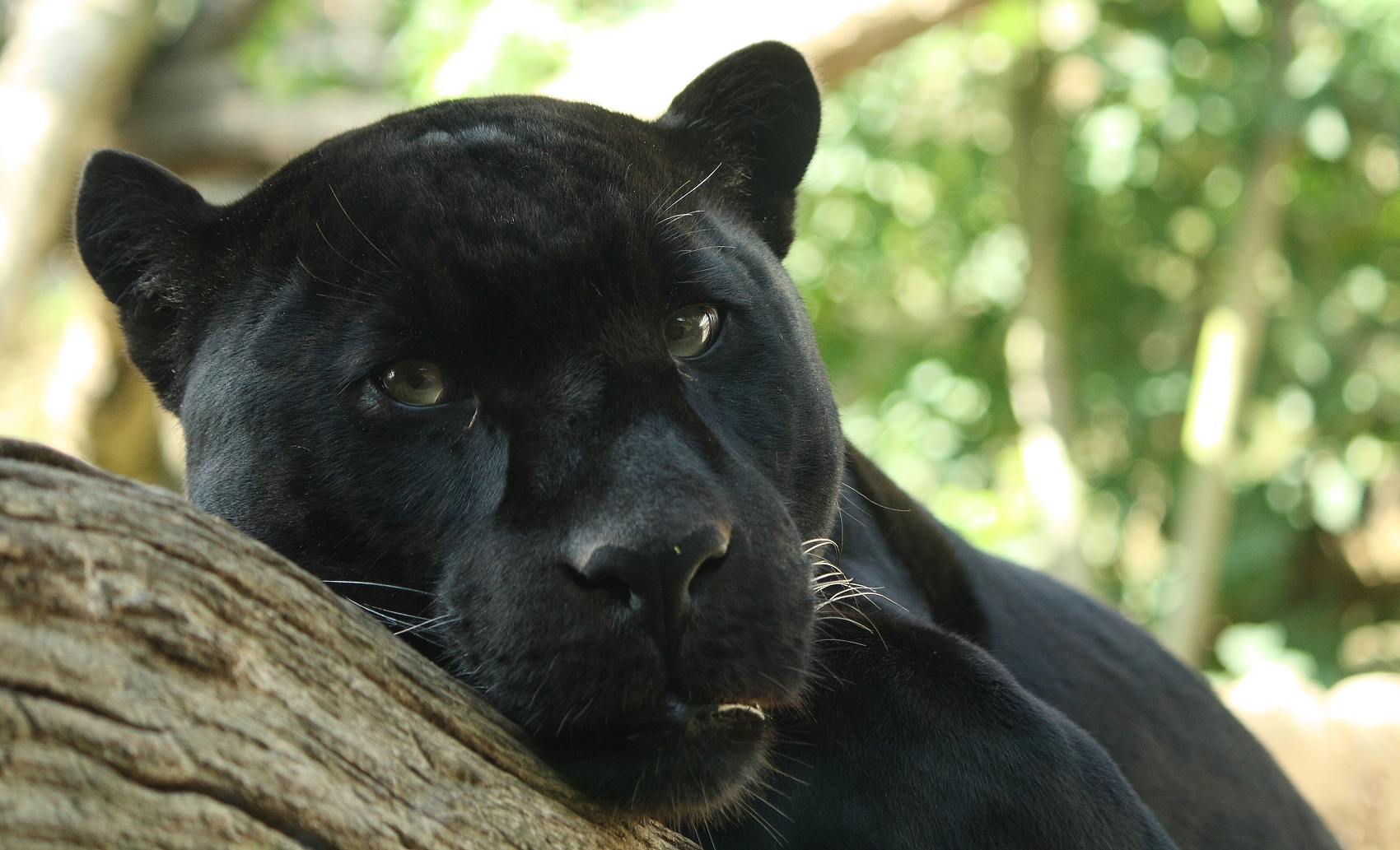 Jaguar_Cat_Picture_Black_Panther.jpg