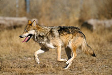 220px-Mexican_Wolf_2_yfb-edit_1.jpg