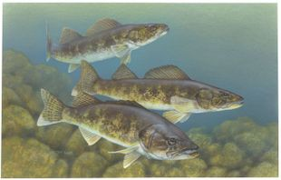 310px walleye painting