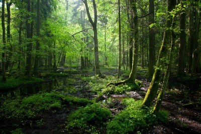 9615074-springtime-sunrise-in-wet-deciduous-stand-of-bialowieza-forest-with-standing-water.jpg