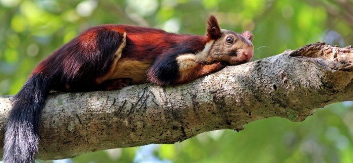 malabar-giant-squirrel.jpg