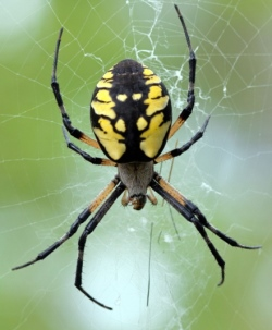Black_and_Yellow_Argiope_small.jpg