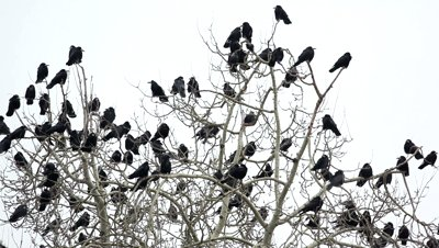 stock-footage-crows-on-tree.jpg