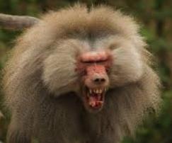 angry_baboon.png
