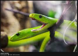 green-mamba.jpg