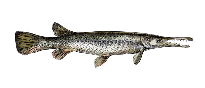 Alligator_Gar_color.jpg