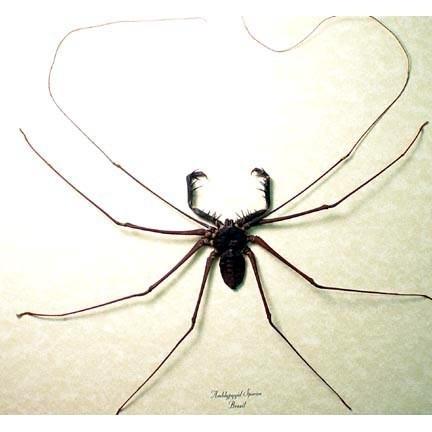 chew-spider.jpg
