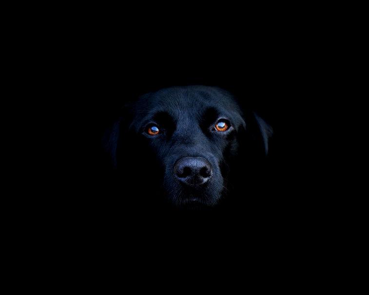 992000__black-labrador_p.jpg