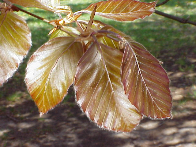 copper_beech_tree1.jpg