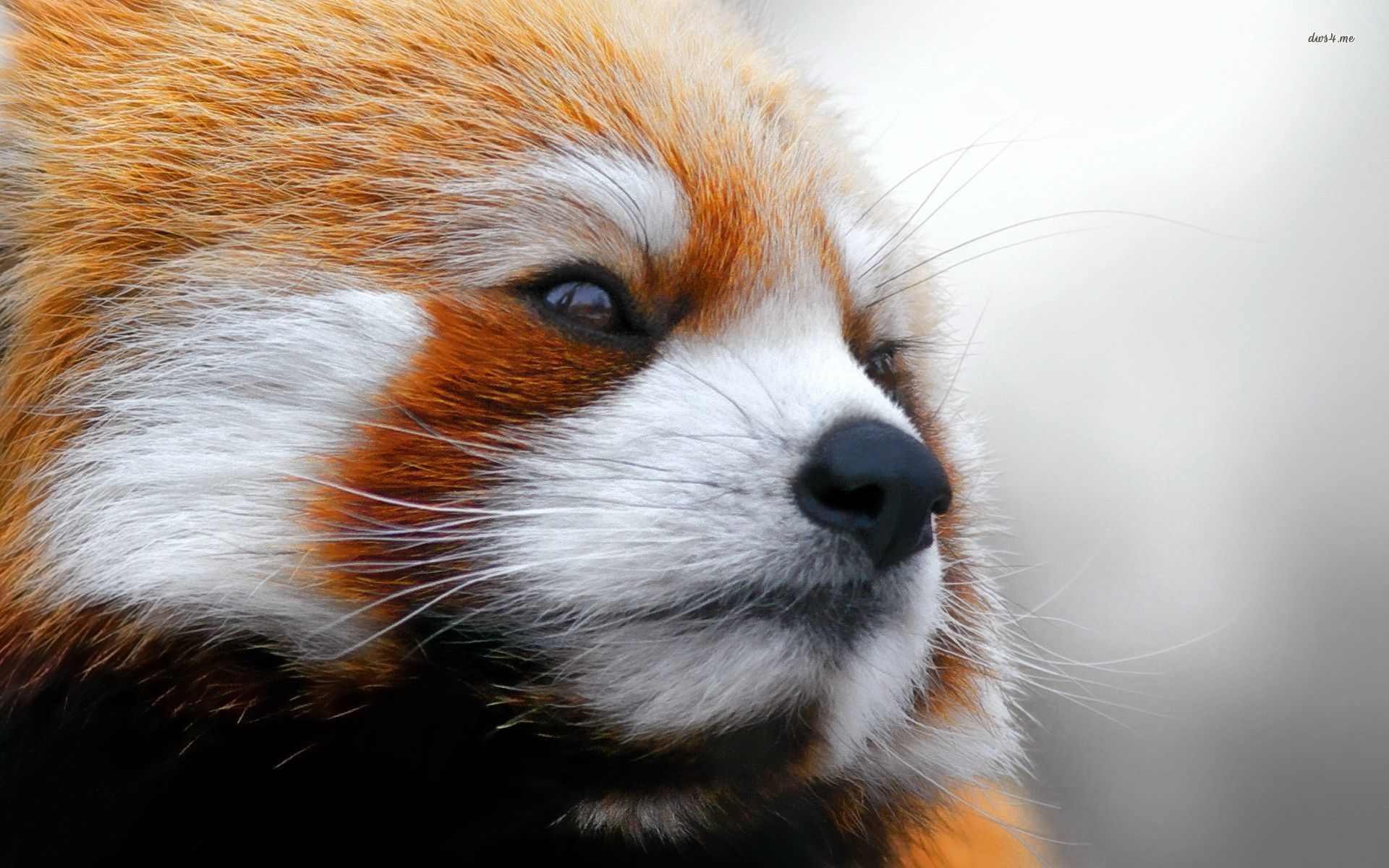 23878-red-panda-1920x1200-animal-wallpaper.jpg