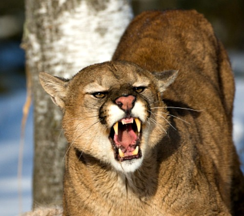 11mountain-lion-bingful4985.jpg
