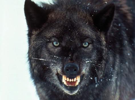black_wolf.jpg
