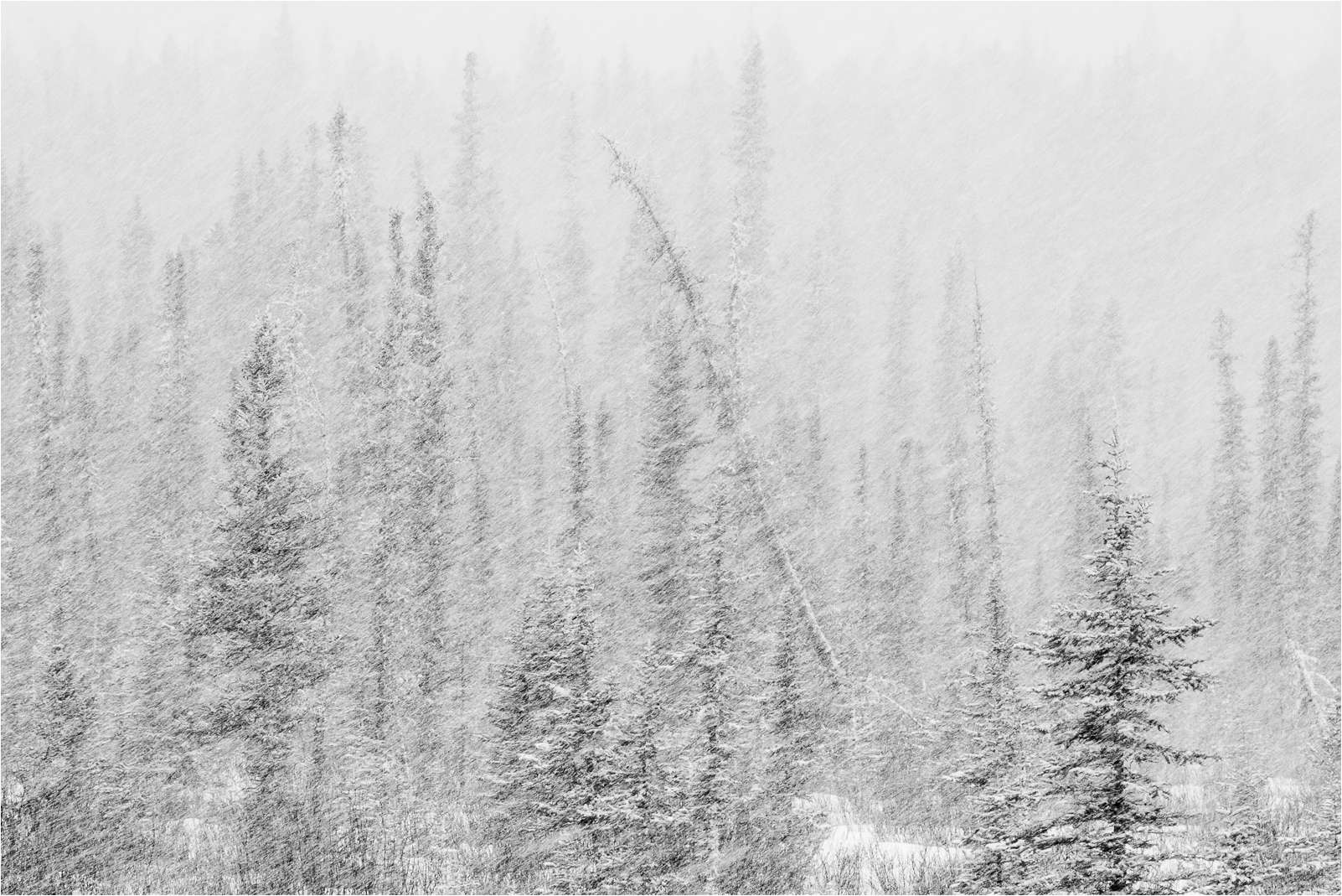 Snowstorm through the trees c2a9 christopher martin 9870