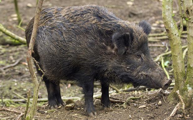 wild-boar_3122978b.jpg