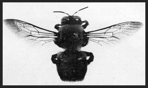 xylocopa02.jpg