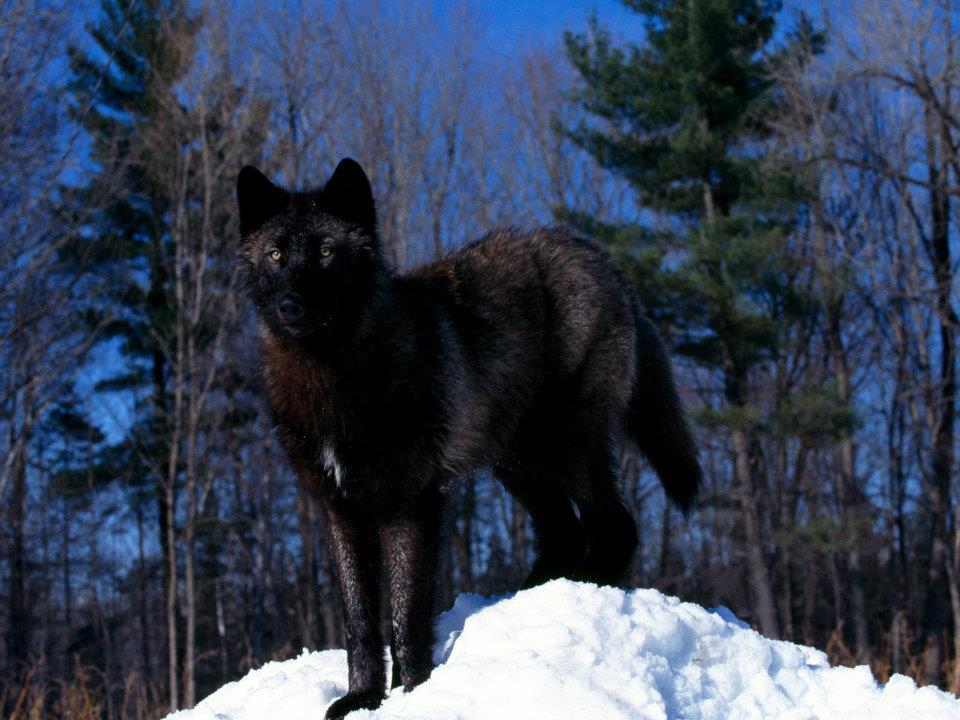 shawnwolf.jpg