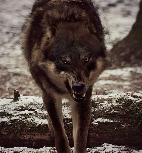 maxwolf.jpg