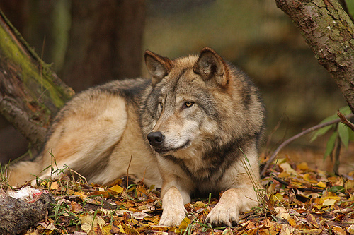 lumberwolf.jpg