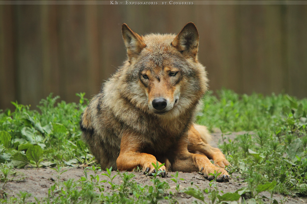 orange_wolf_by_khevyel-d3jeymq.jpg