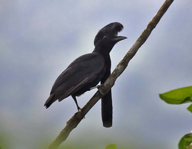 crowish.png