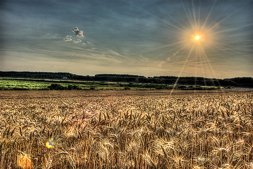 goldenfields.jpg