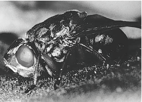 adulthumanbotfly.png