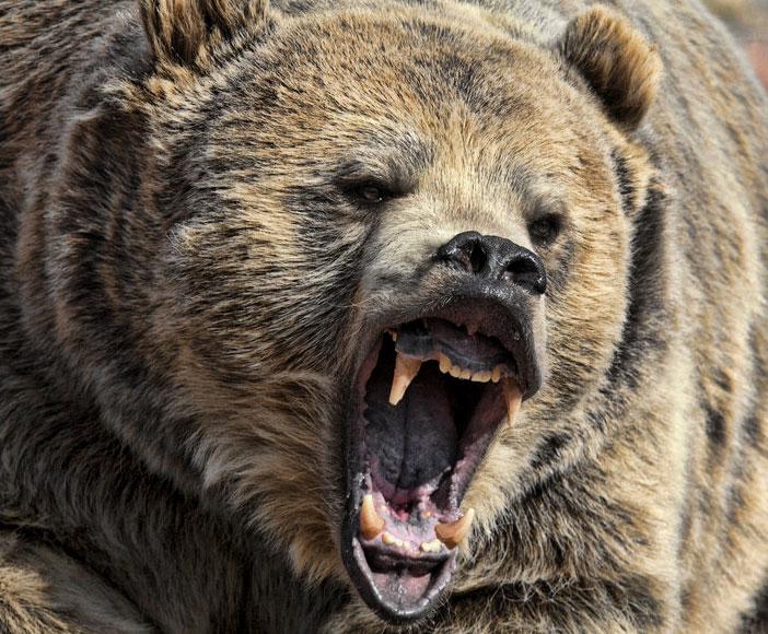 Man_eating_bear.jpg