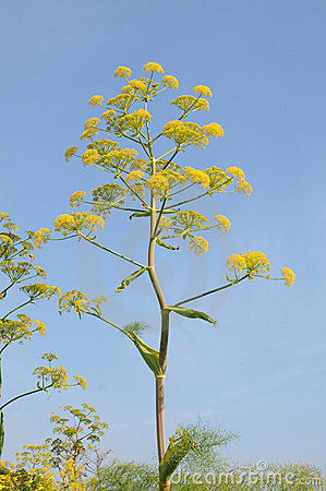 giant-fennel-19590694.jpg