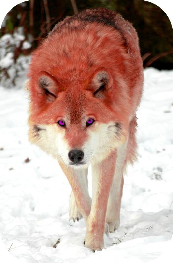 WolfDarcyGlare.jpg