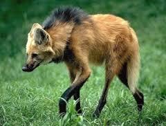 wolfy.jfif