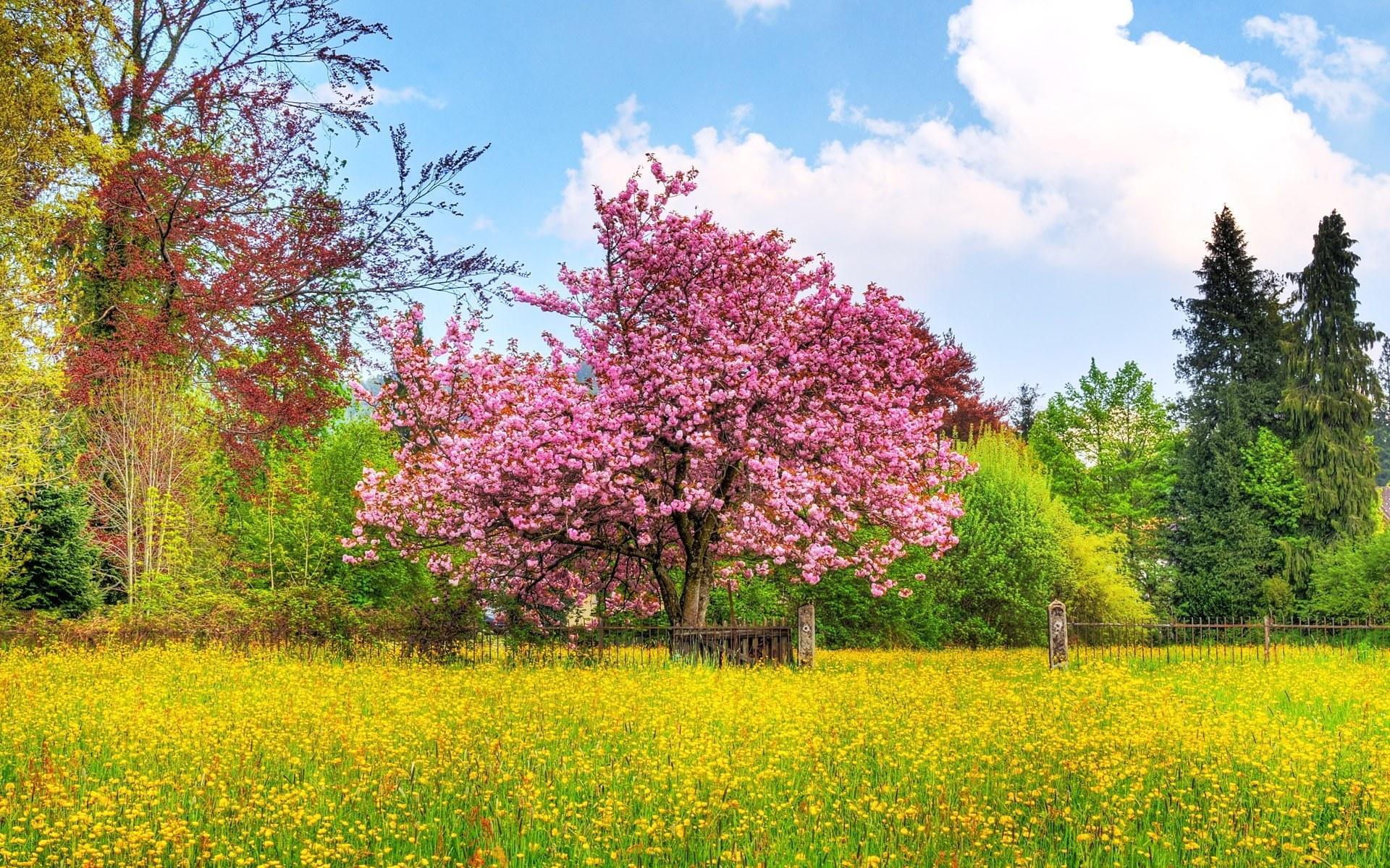 tree_cherry_tree_in_blossom_cherry_blossom_nature-5874.jpg