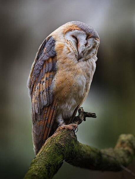 Nolwenn_s_Barn_Owl_No_.jpg