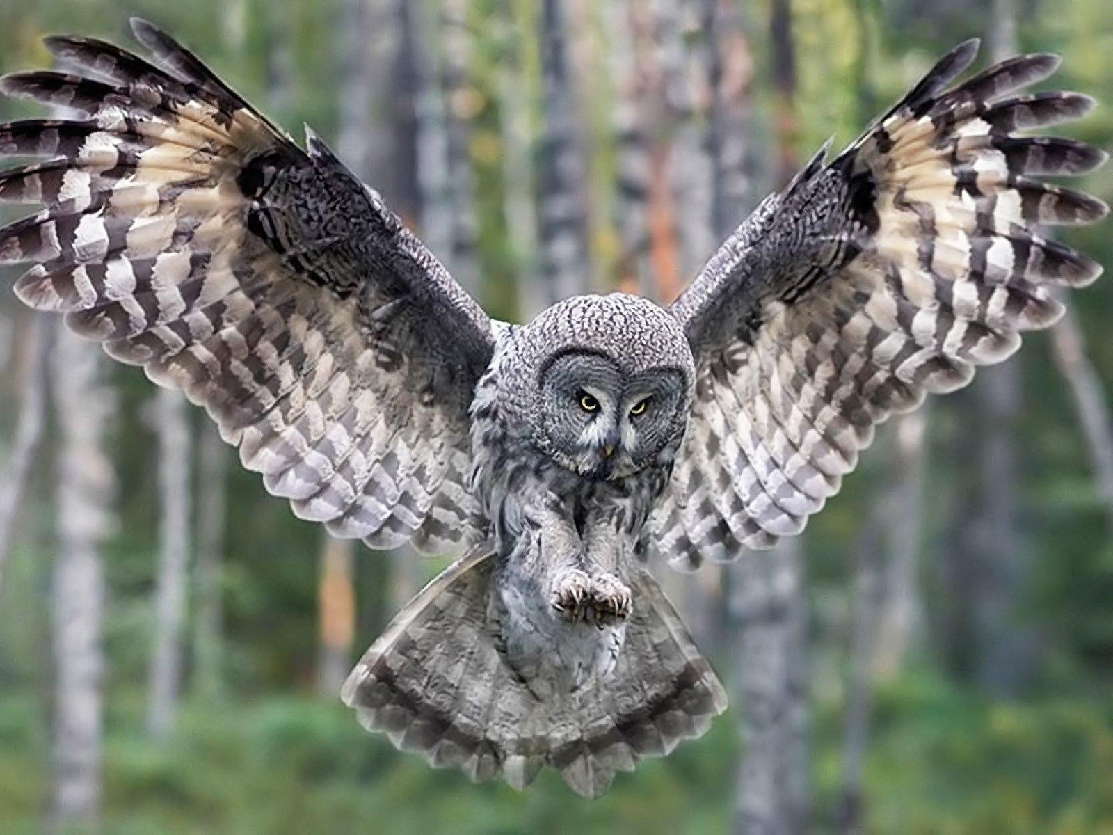 Nolwenn_s_Great_Gray_Owl_Guillaume.jpg