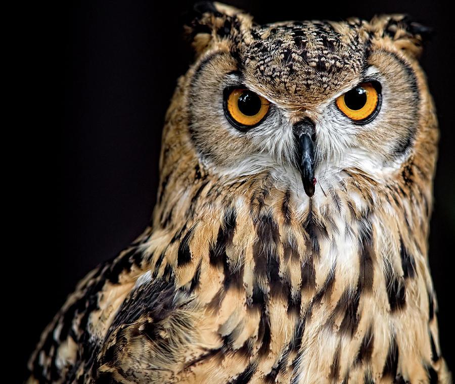 Nolwenn_s_Bengal_Eagle_Owl_Pons.jpg