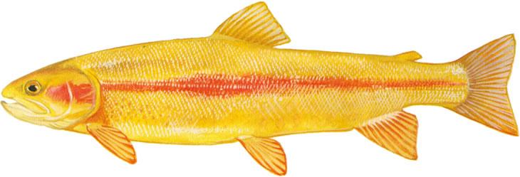 golden-rainbow-trout.jpg