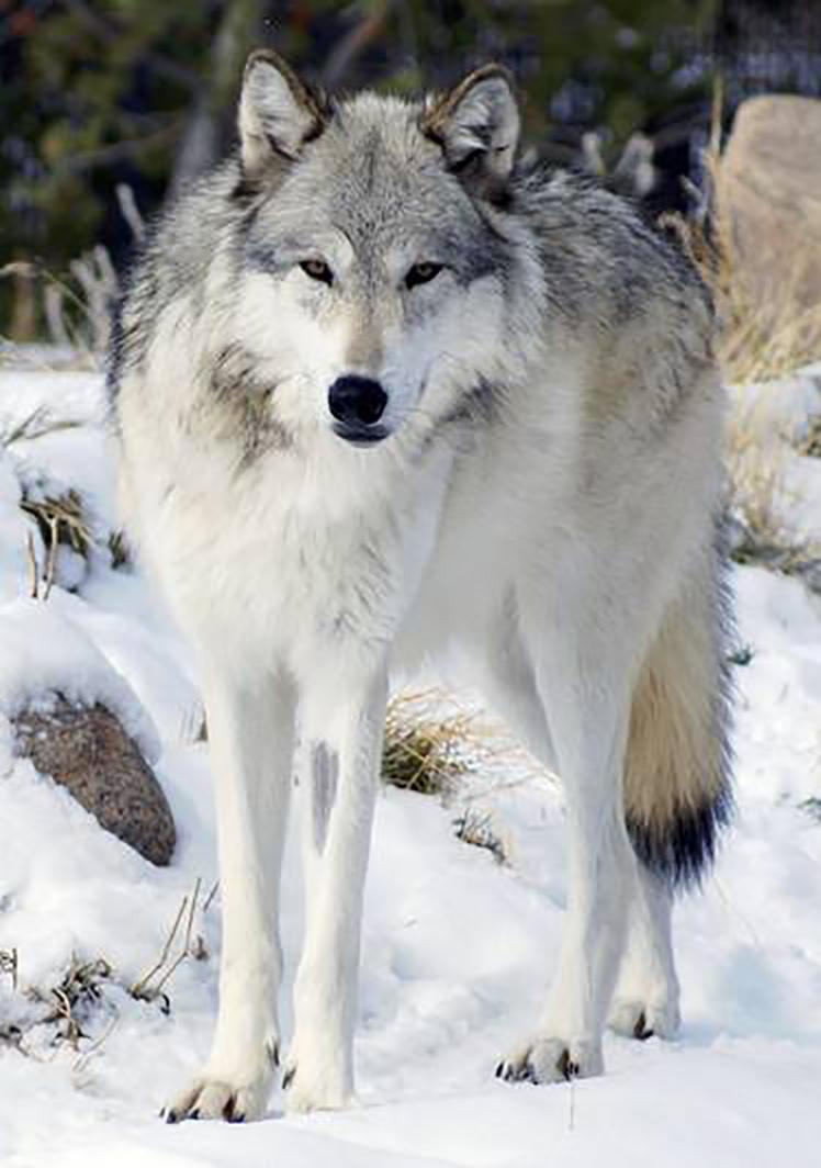 Wolf_11.jpg