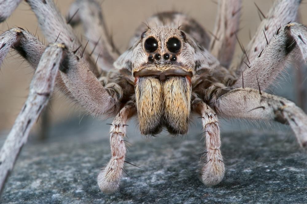 male-wolf-spider.jpg