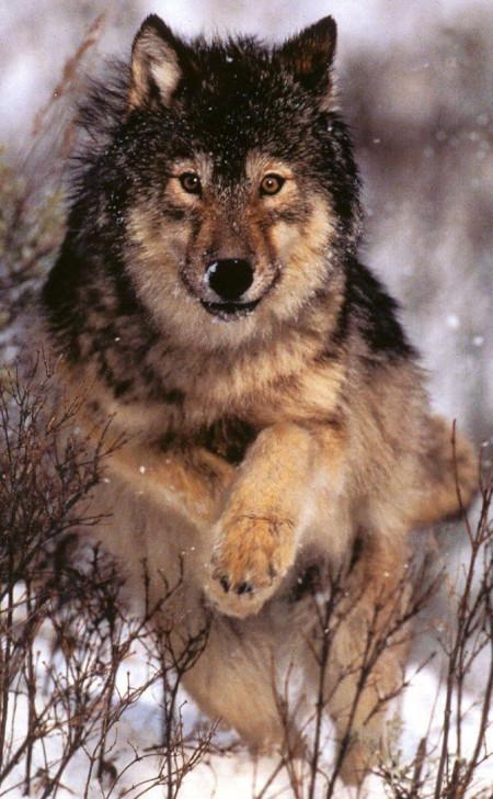 Braden_Wolf.jpg